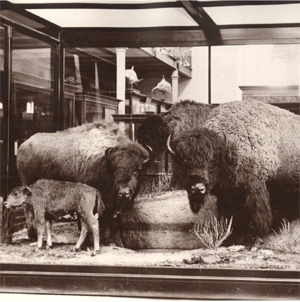 buffalo-group_amnh[1].JPG